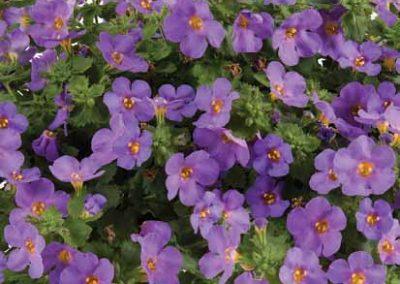 Bacopa Scopia® Gulliver™ Compact Purple