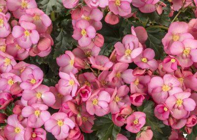 Begonia Rieger MacaRose