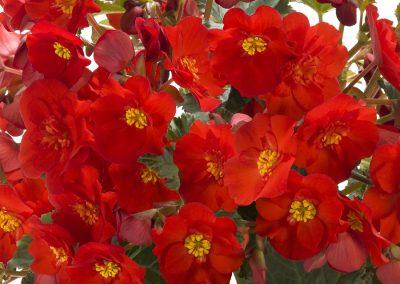 Begonia elatior Rieger Macarouge