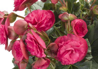 Begonia elatior Sun Rieger Vermillion Pink