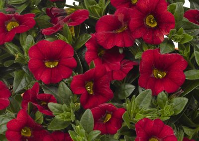 Calibrachoa Aloha Kona Dark Red
