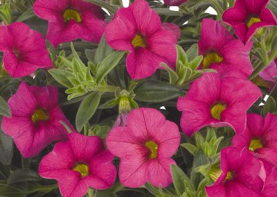 Calibrachoa Aloha Kona Hot Pink