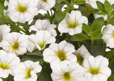 Calibrachoa Aloha Kona White