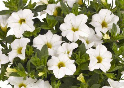 Calibrachoa Aloha Nani White