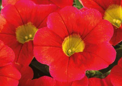 Calibrachoa Calitastic® Blood Orange