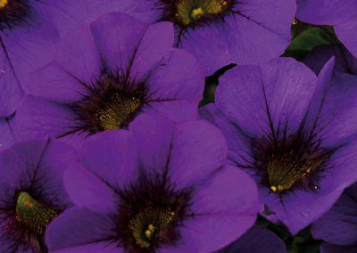 Calibrachoa Calitastic® Noble Blue