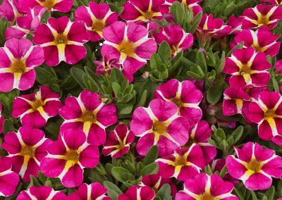 Calibrachoa Colibri™ Pink Bling