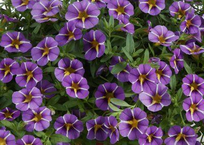 Calibrachoa Colibri™ Purple Bling
