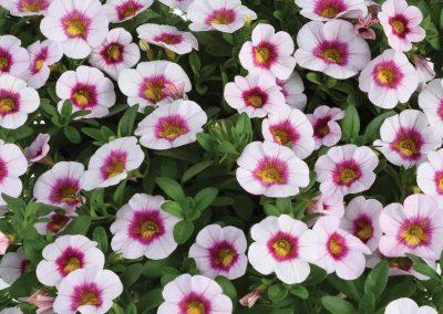 Calibrachoa Eyeconic™ Cherry Blossom