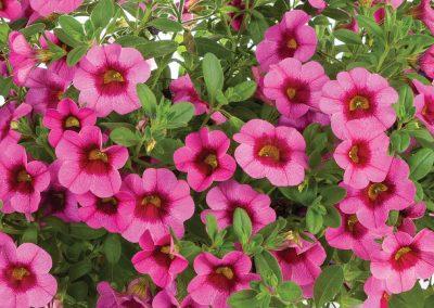 Calibrachoa Eyeconic™ Pink