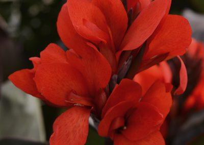 Canna Cannova Bronze Scarlet