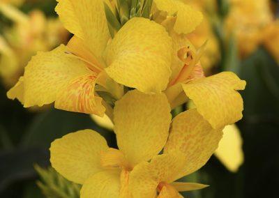 Canna Cannova Yellow
