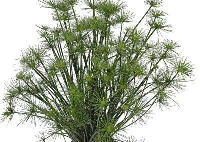 Cyperus Cleopatra
