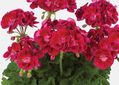 Geranium Zonal - Flower Fairy® Velvet