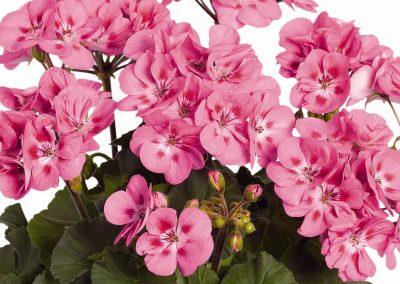 Geranium Zonal - Savannah® Pink