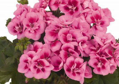 Geranium Zonal - Savannah® Pink Splash