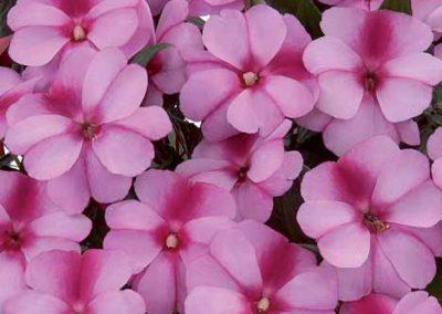 Impatiens New Guinea - Harmony® Purple Cream