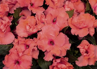 Impatiens New Guinea - Rollercoaster Tangy Taffy