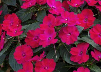 Impatiens - SunPatiens® Rose Glow