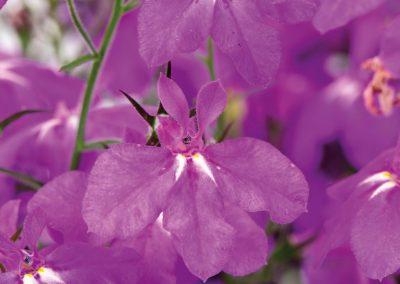 Lobelia Hot®Plus Electric Purple