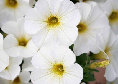 Petchoa SuperCal®Premium Pearl White