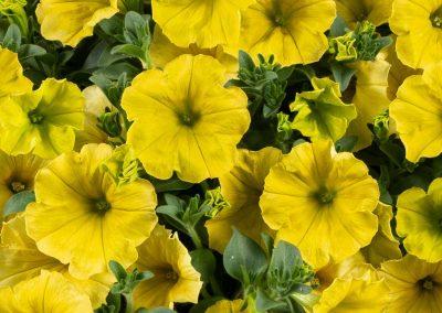 Petunia Capella™ Hello Yellow
