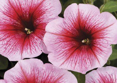 Petunia Perfectunia Amarena