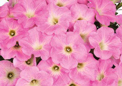 Petunia Potunia® Cotton Candy