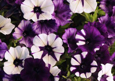 Petunia Shock Wave® Purple Tie Dye