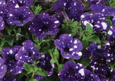 Petunia Splash Dance™ Bolero Blue