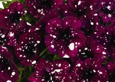 Petunia Surprise Sparkle Burgundy