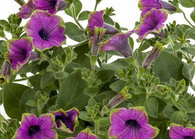 Petunia Tea Purple Green Edge