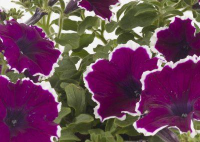 Petunia Tea Purple White Edge