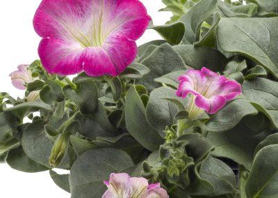 Petunia Tea Rose Morn