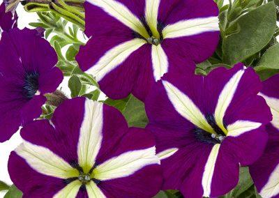 Petunia Tea Violet Bicolour