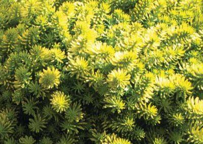 Sedum Yellow Bouquet