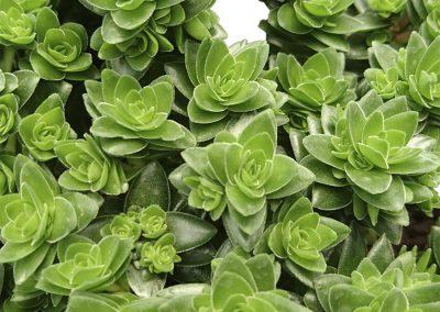 Succulent Crassula spiralis