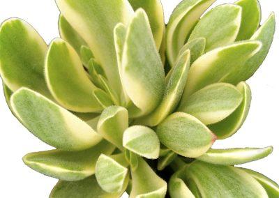 Succulent Crassula swaziensis Variegata