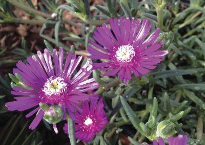Succulent Delospermum cooperi Hot Pink