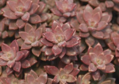 Succulent Graptosedum Vera Higgins