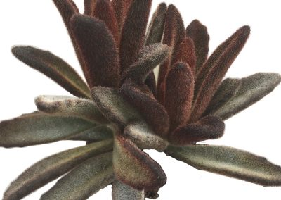 Succulent Kalanchoe tomentosa Chocolate Soldier