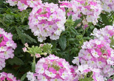 Verbena Vanessa Bicolour Pink