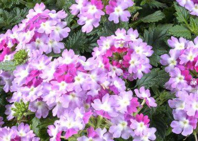 Verbena Vanessa Bicolour Purple