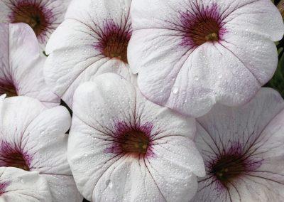 SuperCal Snowberry White